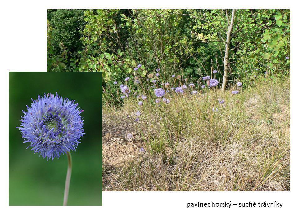 pavinec horský – suché trávníky