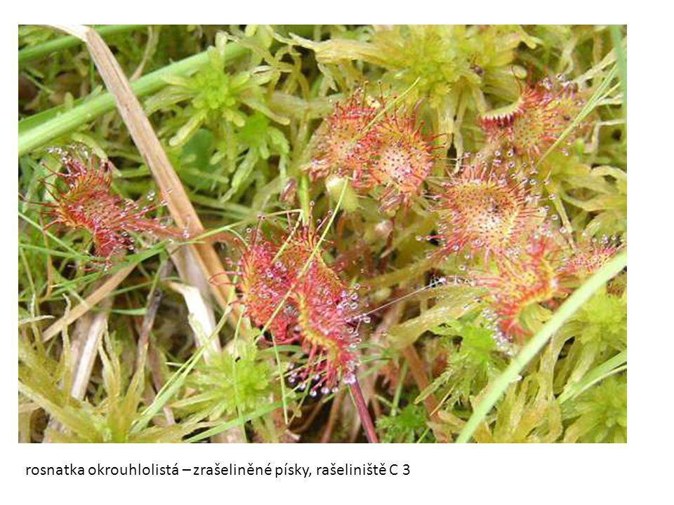 rosnatka okrouhlolistá – zrašeliněné písky, rašeliniště C 3