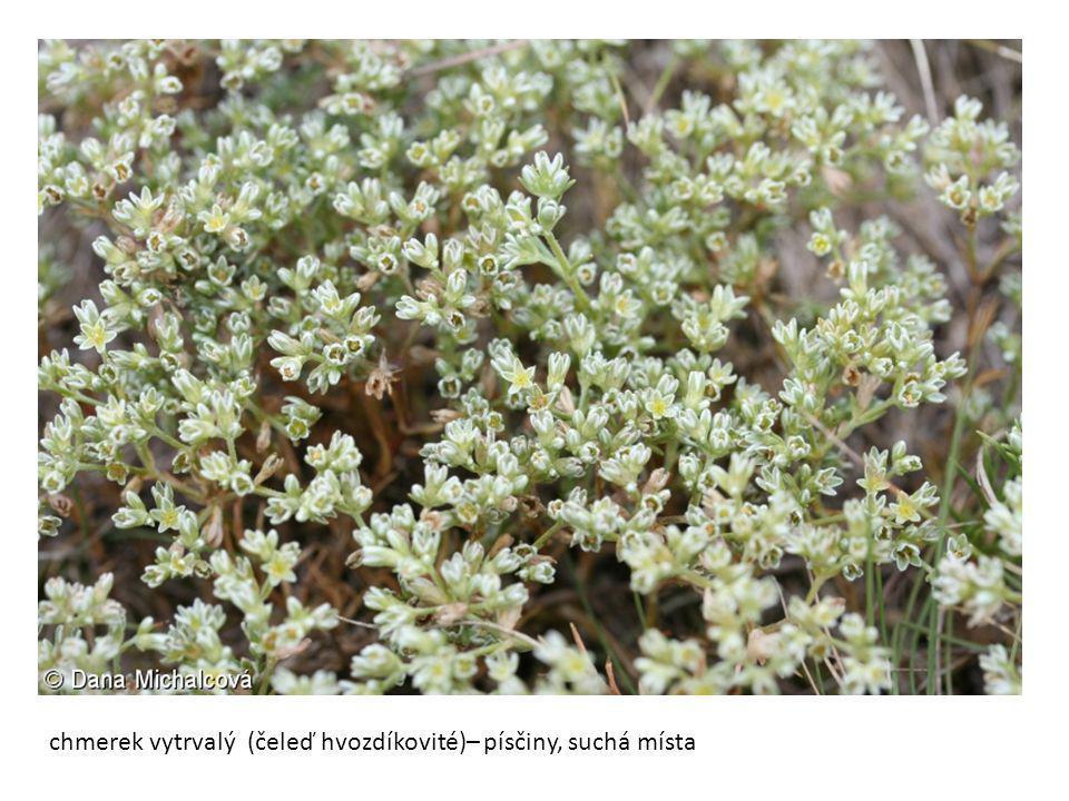 chmerek vytrvalý (čeleď hvozdíkovité)– písčiny, suchá místa