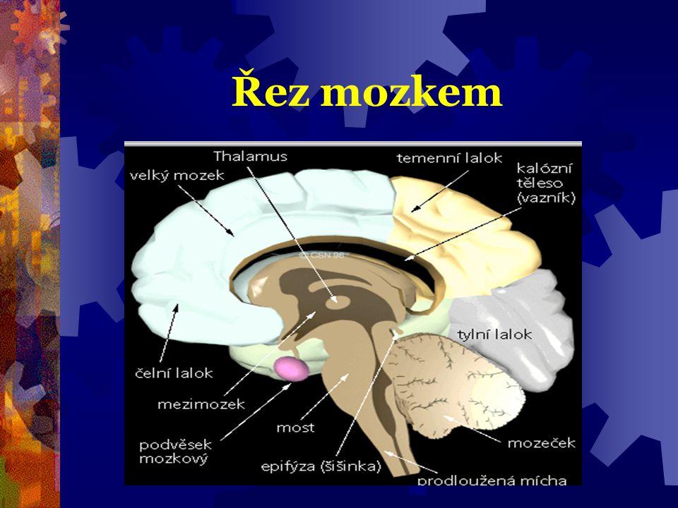 +  retikulární formace = převod info do vyšších center mozku  je to síť prostupující kmenem  rozhoduje, co je důležité, hierarchie, nezahlcení a bdění