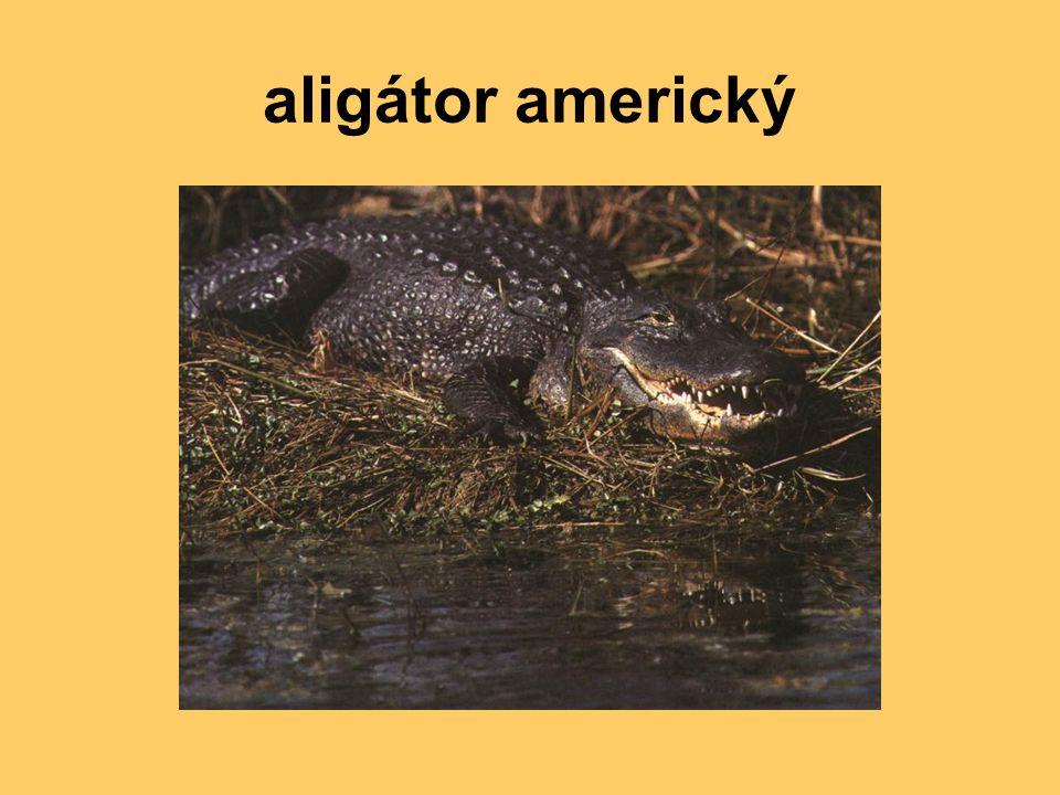 aligátor americký