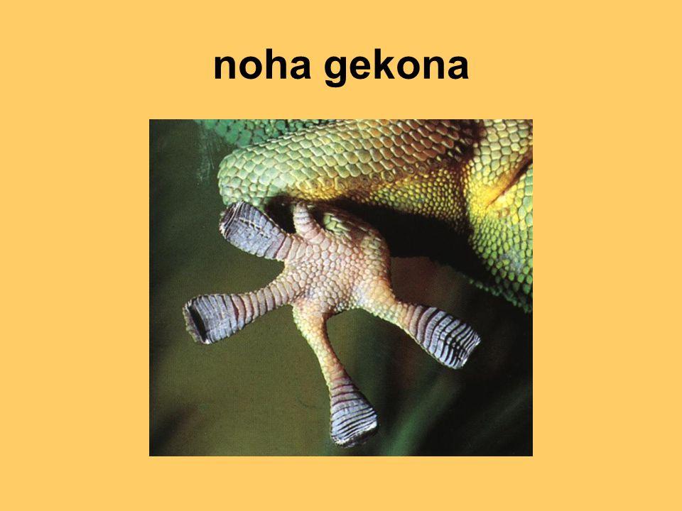 noha gekona