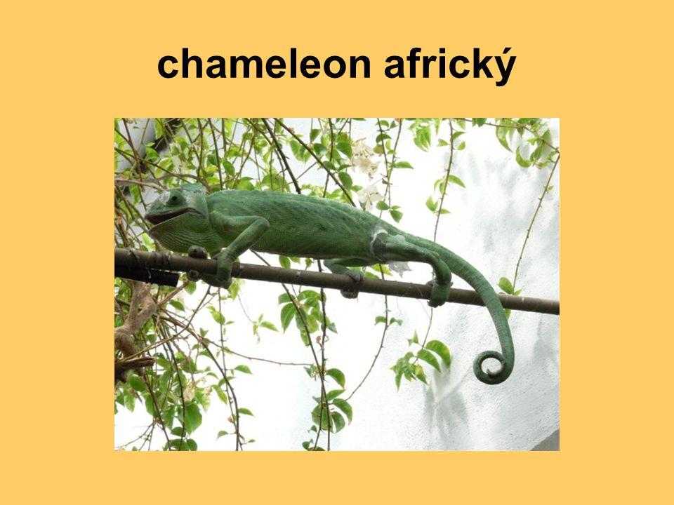 chameleon africký