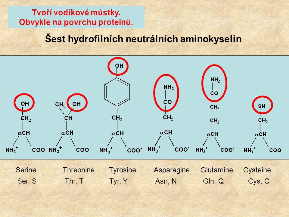 6 hydrofilních neutrálních postranních řetězců. Všechny obsahují =O, O-H nebo N-H skupiny které tvoří vodíkové můstky. 2 hydrofilní kyselé postranní ř