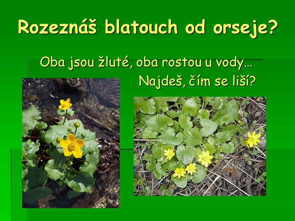 Rozeznáš blatouch od orseje? Oba jsou žluté, oba rostou u vody… Najdeš, čím se liší?