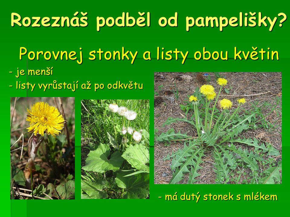 Rozeznáš podběl od pampelišky? Porovnej stonky a listy obou květin - je menší - je menší - listy vyrůstají až po odkvětu - listy vyrůstají až po odkvě