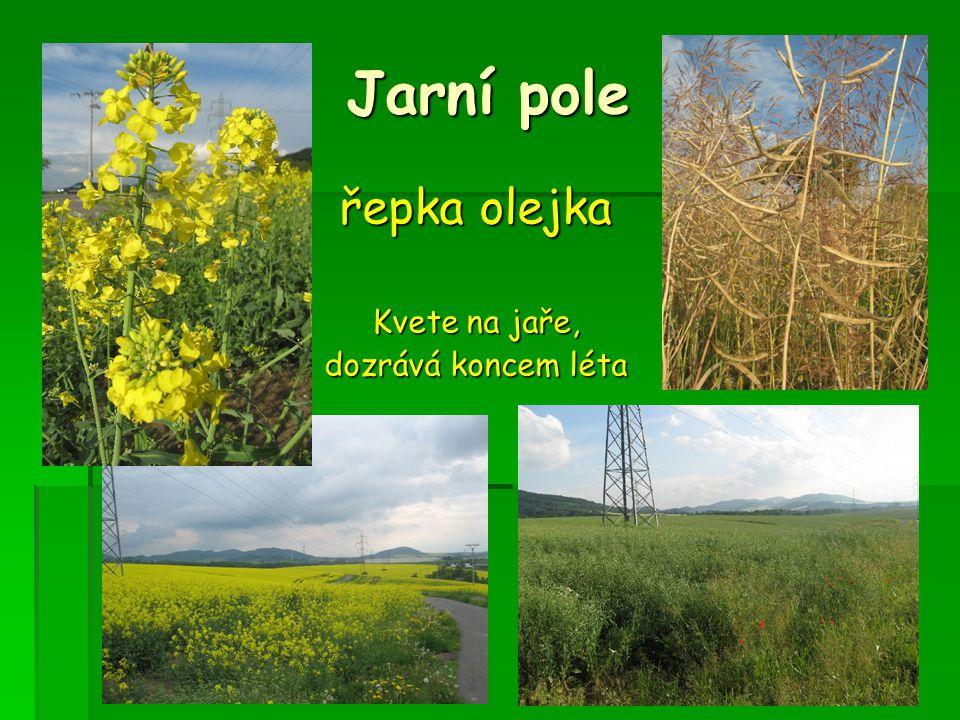 Jarní pole řepka olejka Kvete na jaře, dozrává koncem léta