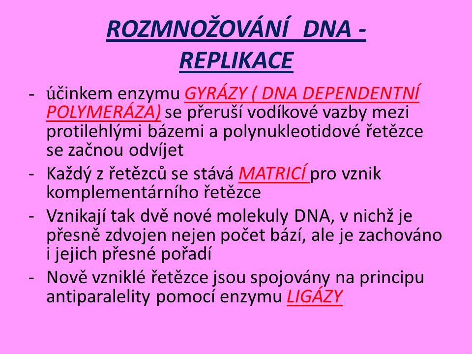 ROZMNOŽOVÁNÍ DNA - REPLIKACE -ú činkem enzymu GYRÁZY ( DNA DEPENDENTNÍ POLYMERÁZA) se přeruší vodíkové vazby mezi protilehlými bázemi a polynukleotidové řetězce se začnou odvíjet -Každý z řetězců se stává MATRICÍ pro vznik komplementárního řetězce -Vznikají tak dvě nové molekuly DNA, v nichž je přesně zdvojen nejen počet bází, ale je zachováno i jejich přesné pořadí -Nově vzniklé řetězce jsou spojovány na principu antiparalelity pomocí enzymu LIGÁZY