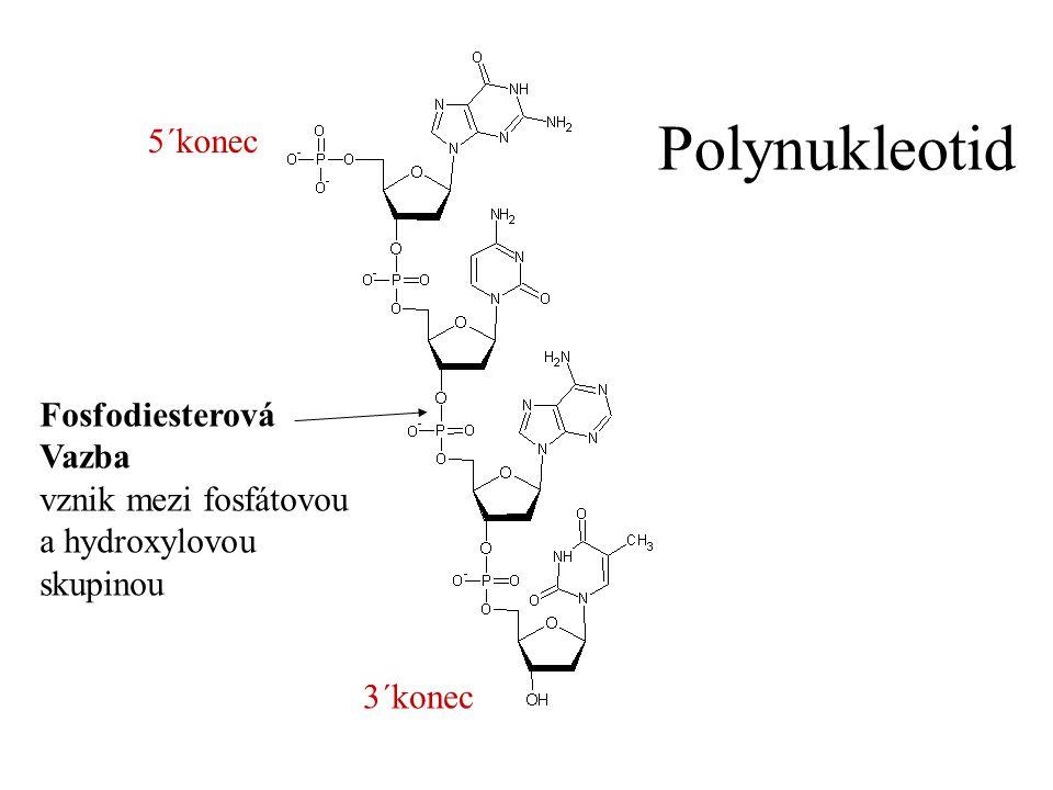 Fosfodiesterová Vazba vznik mezi fosfátovou a hydroxylovou skupinou Polynukleotid 3´konec 5´konec