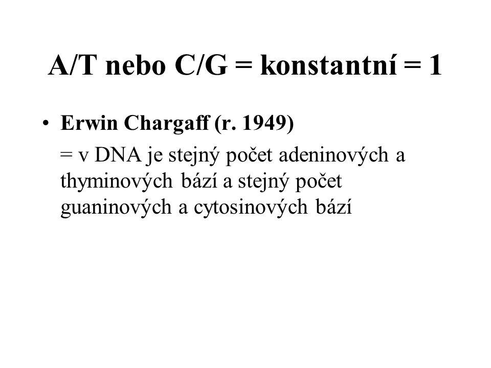 A/T nebo C/G = konstantní = 1 Erwin Chargaff (r. 1949) = v DNA je stejný počet adeninových a thyminových bází a stejný počet guaninových a cytosinovýc