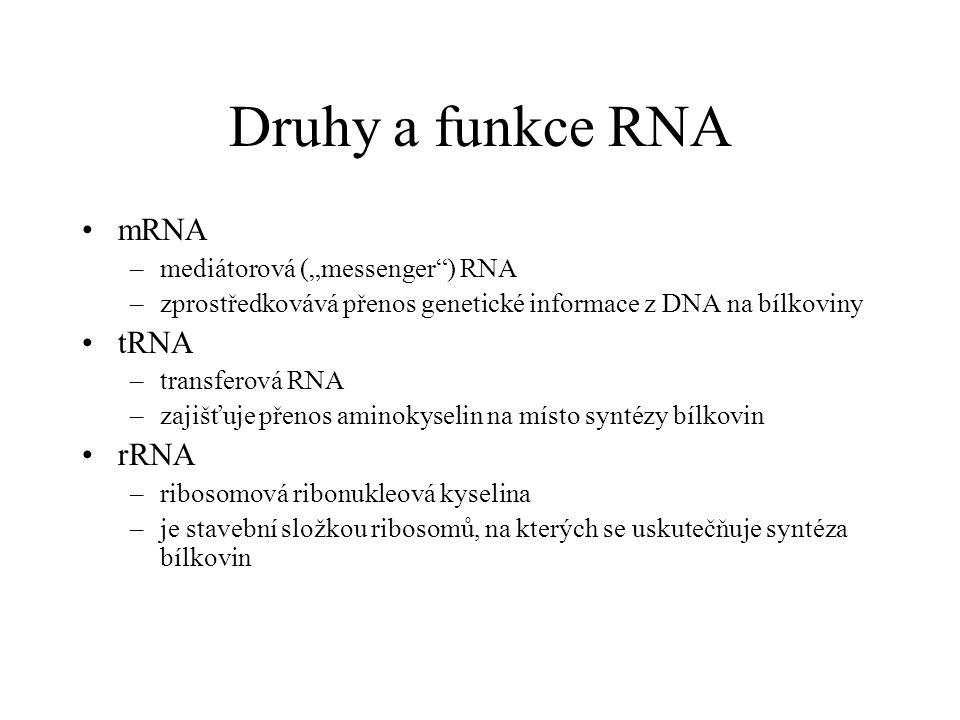 """Druhy a funkce RNA mRNA –mediátorová (""""messenger"""") RNA –zprostředkovává přenos genetické informace z DNA na bílkoviny tRNA –transferová RNA –zajišťuje"""