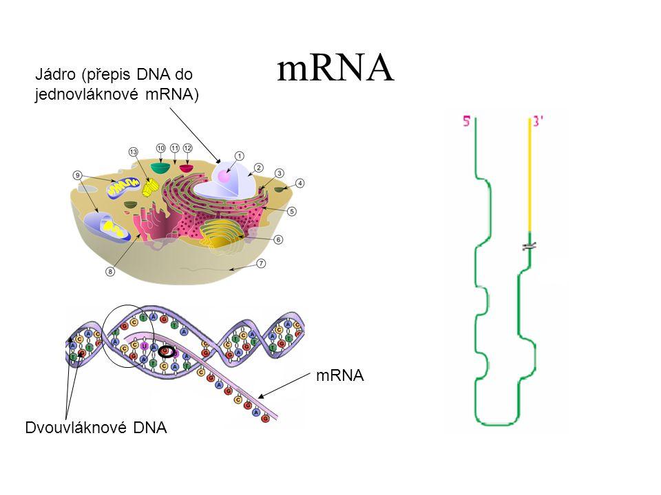 mRNA Jádro (přepis DNA do jednovláknové mRNA) Dvouvláknové DNA mRNA