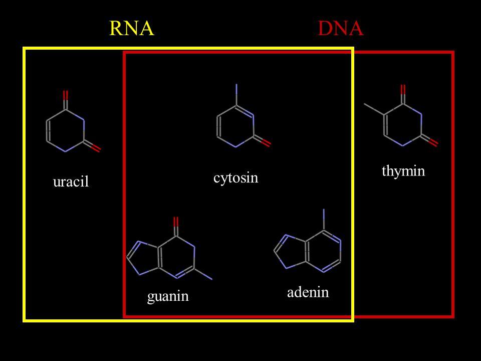 """Druhy a funkce RNA mRNA –mediátorová (""""messenger ) RNA –zprostředkovává přenos genetické informace z DNA na bílkoviny tRNA –transferová RNA –zajišťuje přenos aminokyselin na místo syntézy bílkovin rRNA –ribosomová ribonukleová kyselina –je stavební složkou ribosomů, na kterých se uskutečňuje syntéza bílkovin"""