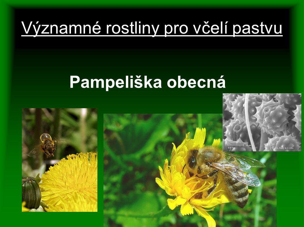 Významné rostliny pro včelí pastvu Pampeliška obecná