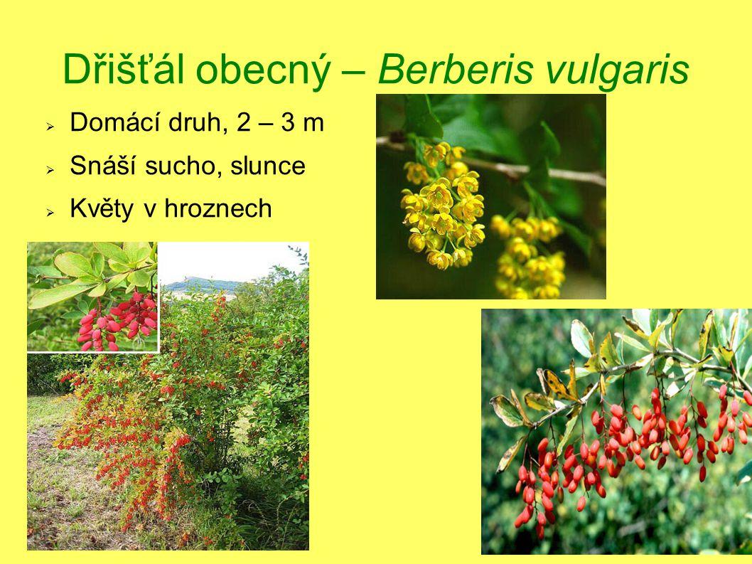 Dřišťál obecný – Berberis vulgaris  Domácí druh, 2 – 3 m  Snáší sucho, slunce  Květy v hroznech