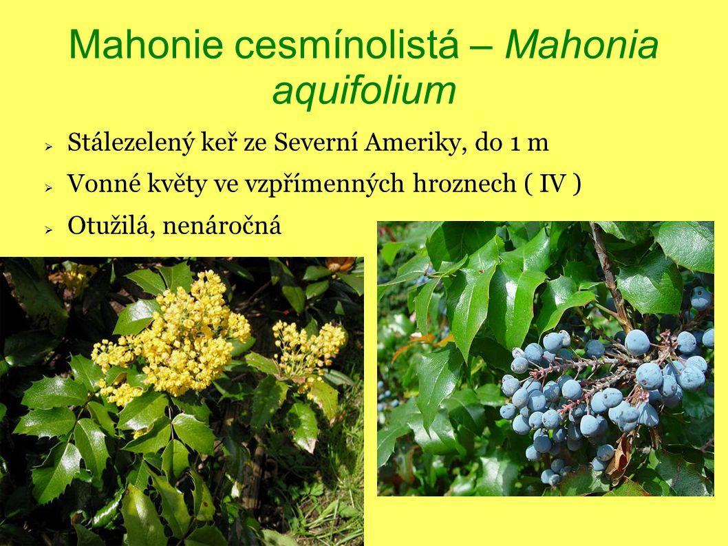 Mahonie cesmínolistá – Mahonia aquifolium  Stálezelený keř ze Severní Ameriky, do 1 m  Vonné květy ve vzpřímenných hroznech ( IV )  Otužilá, nenáročná