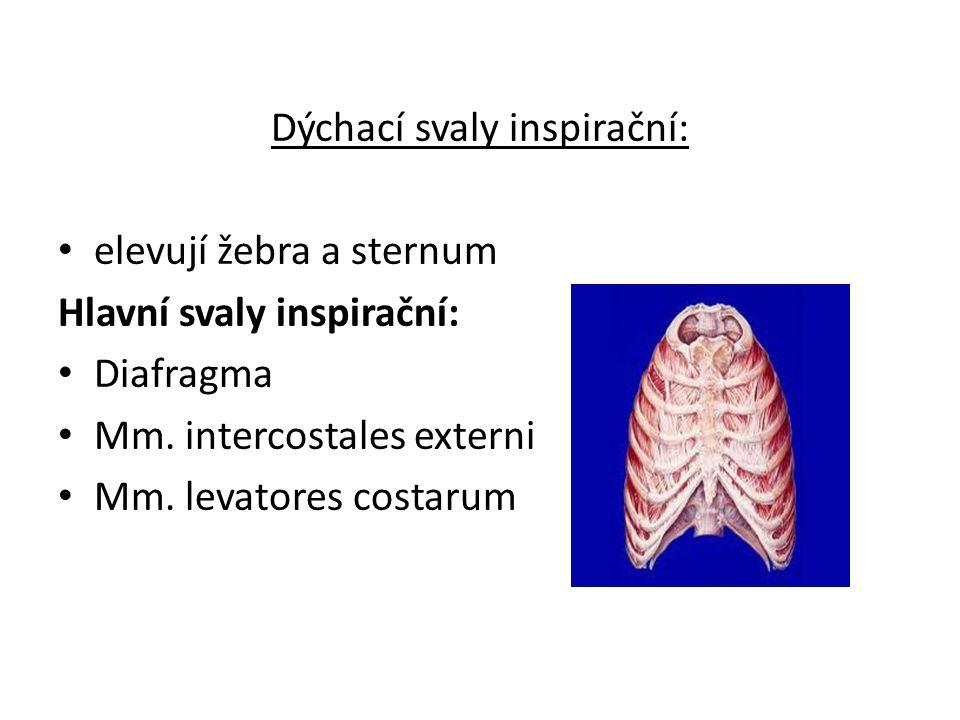 Dýchací svaly inspirační: elevují žebra a sternum Hlavní svaly inspirační: Diafragma Mm.