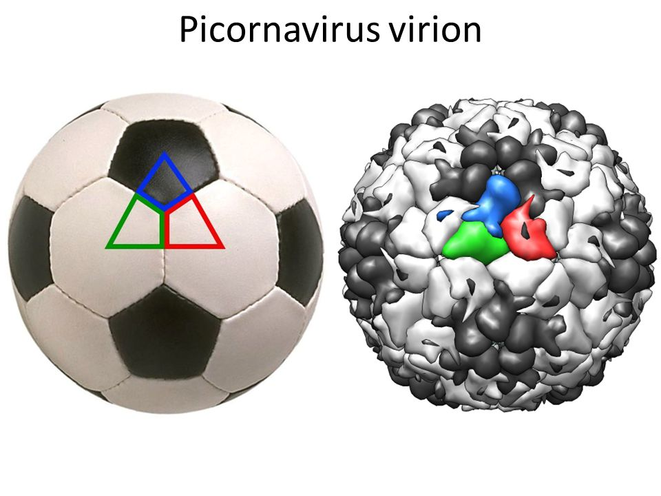 Picornavirus virion
