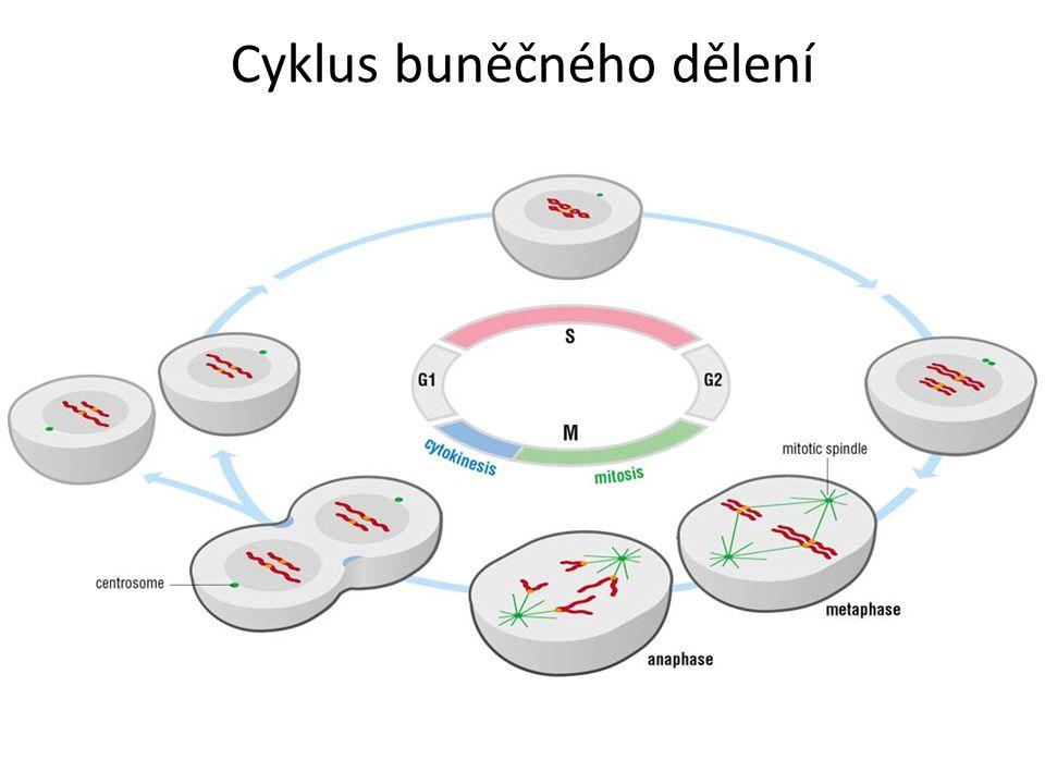 Cyklus buněčného dělení