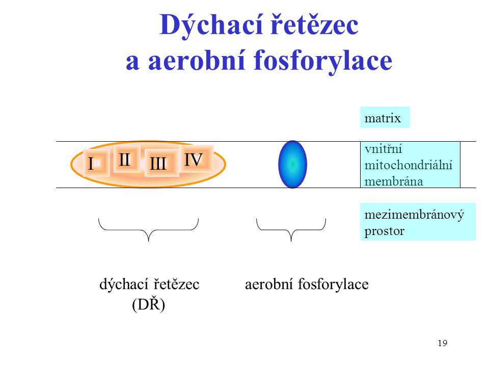 19 Dýchací řetězec a aerobní fosforylace I II III IV vnitřní mitochondriální membrána matrix mezimembránový prostor dýchací řetězec aerobní fosforylac
