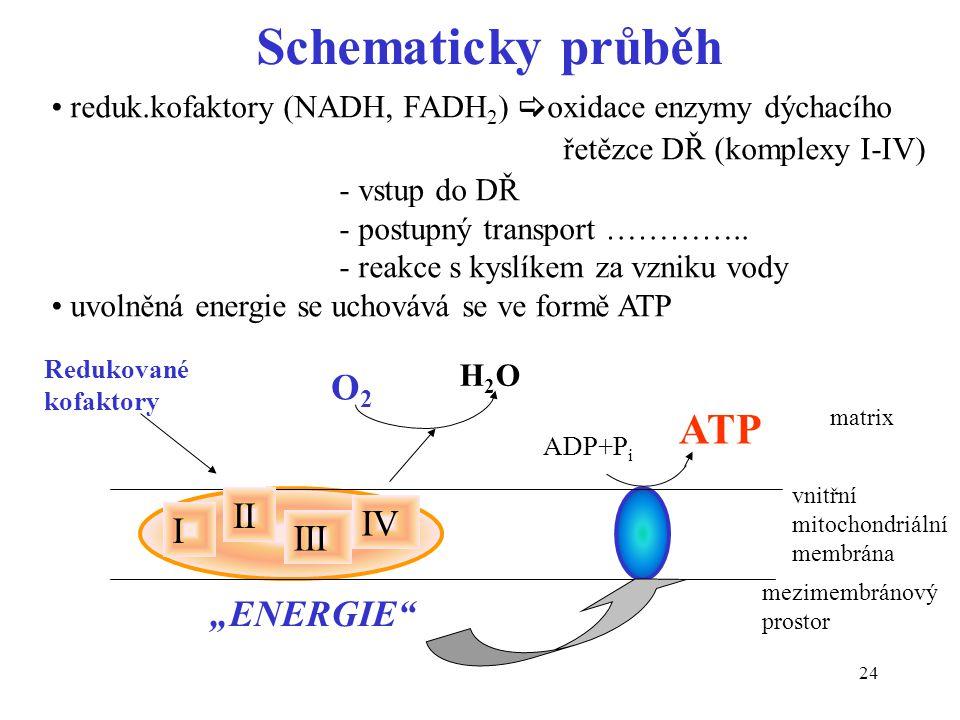 24 Schematicky průběh reduk.kofaktory (NADH, FADH 2 )  oxidace enzymy dýchacího řetězce DŘ (komplexy I-IV) - vstup do DŘ - postupný transport …………..