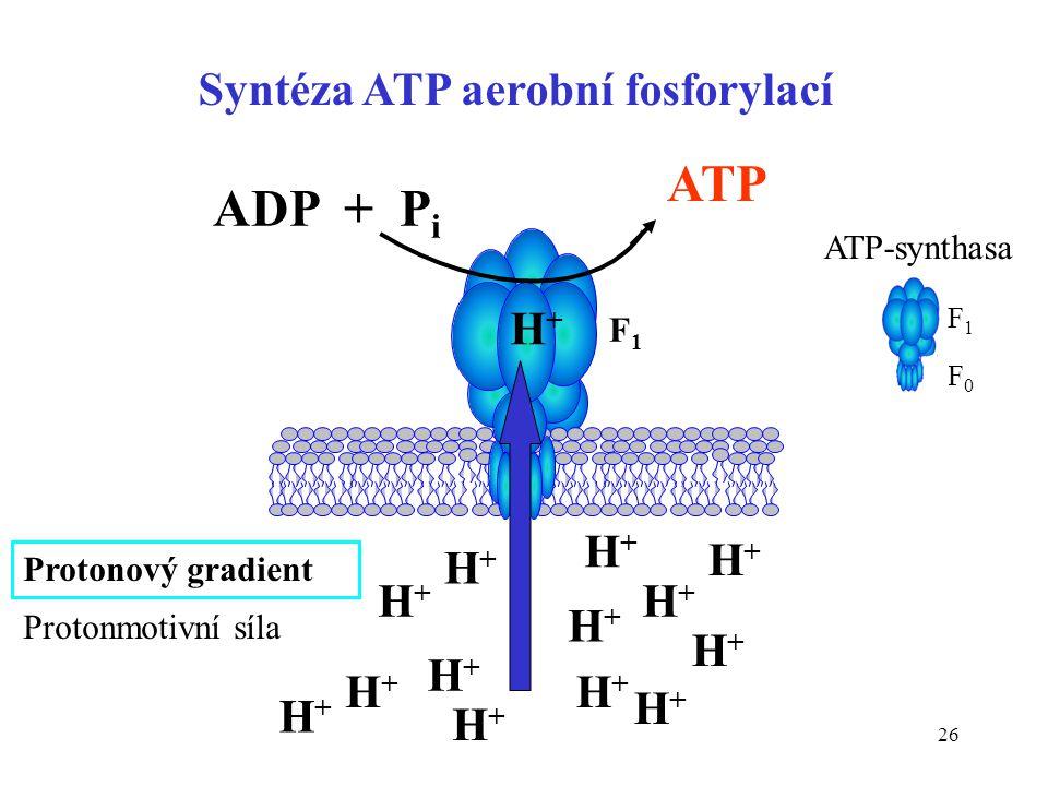 26 Syntéza ATP aerobní fosforylací Protonový gradient H+H+ H+H+ H+H+ H+H+ H+H+ H+H+ H+H+ H+H+ H+H+ H+H+ H+H+ H+H+ H+H+ H+H+ ATP ADP + P i ATP-synthasa
