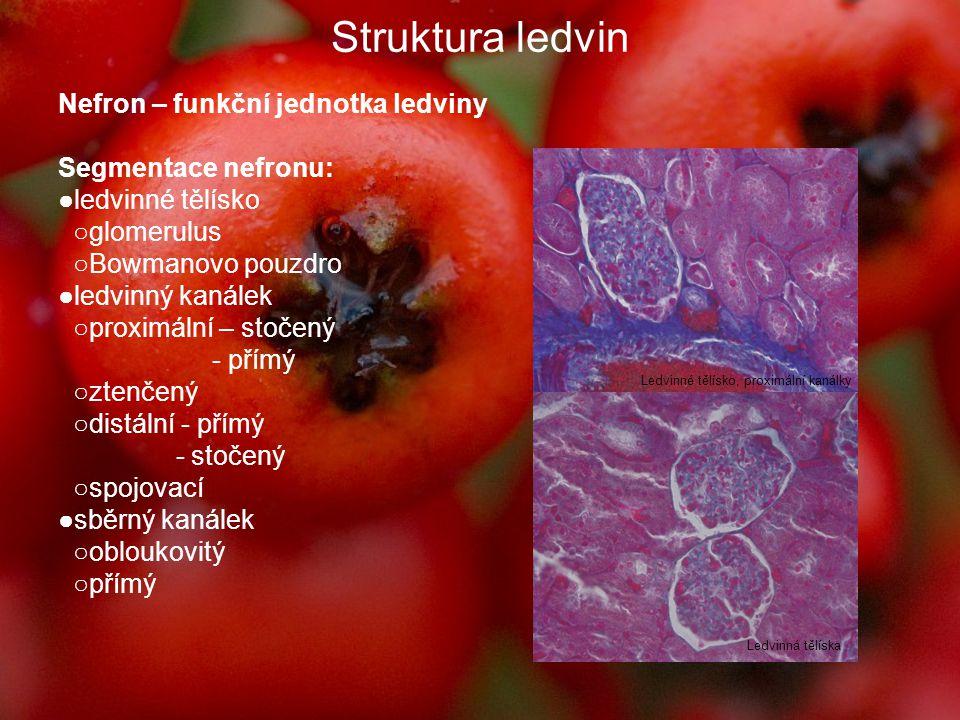 Struktura ledvin Ledvinné tělísko, proximální kanálky Sběrné kanálky ve dřeni Nefron - uložen v Bowmanově pouzdře - zevní (parietální) list – naléhá na lamina basalis, jednovrstevný, plochý epitel - vnitřní (viscerální) list = podocyty s výběžky = pedikly Korové – v kůře ledviny, krátké H.k.