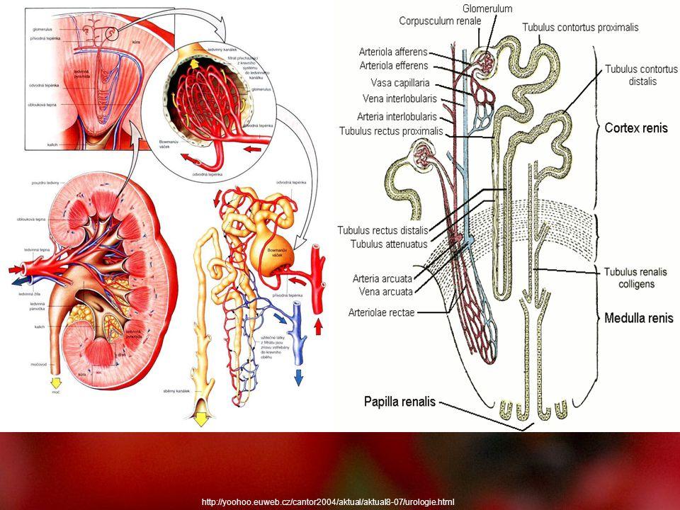 Řízení činnosti ledvin Řízení průtoku krve ledvinami - průtok krve ledvinami stabilní v rozmezí tlaku krve od 80 – 180 mmHg (10,5 – 24 kPa) aortálního tlaku - stabilita zajištěna vazomotorickou reakcí vas afferens a vas efferens, nebo působením sympatiku – autoregulace průtoku krve ledvinami - pokles pod dolní hranice nebo překročení horního limitu vede k nestabilitě průtoku, autoregulace selhává - na průtok krve má vliv i juxtaglomerulární aparát systémem renin – angiotenzin (způsobuje vazodilataci vas afferens a vazokonstrikci vas efferens → zvýšení filtračního tlaku - uplatnění systému kalikrein – kinin (vazodilatace) a prostaglandiny