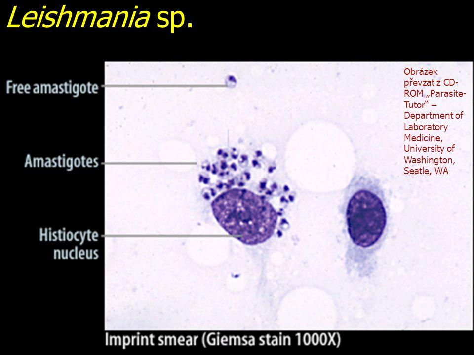 "Leishmania sp. Obrázek převzat z CD- ROM ""Parasite- Tutor"" – Department of Laboratory Medicine, University of Washington, Seatle, WA"