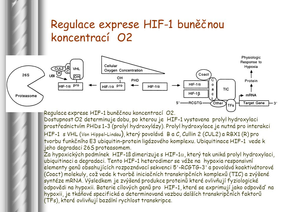 Regulace exprese HIF-1 buněčnou koncentrací O2.