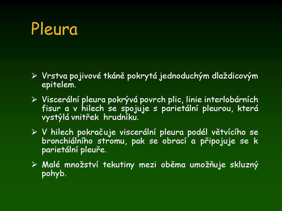 Pleura  Vrstva pojivové tkáně pokrytá jednoduchým dlaždicovým epitelem.  Viscerální pleura pokrývá povrch plic, linie interlobárních fisur a v hilec