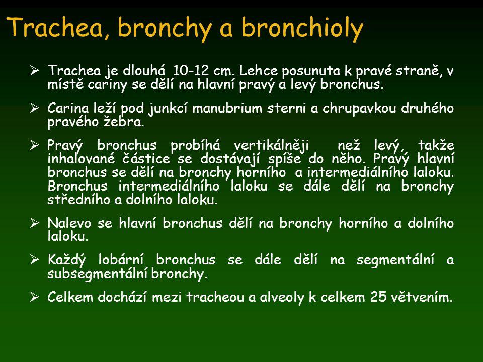 Během prvních 7 větvení mají bronchy:  Stěnu skládající se z chupavky a hladkého svalstva  Epiteliální řasinkový epitel  Žlázky sekretující hlen  Endokrinní buňky – Kulchitského nebo APUD (amine precursor and uptake decarboxylation), které obsahují serotonin