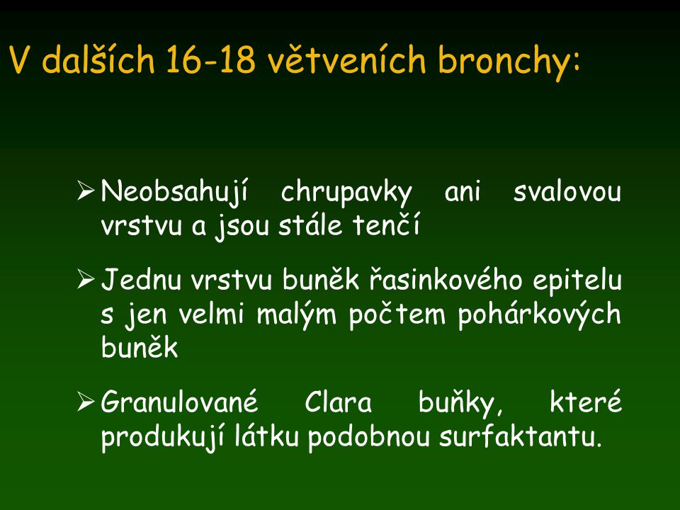 V dalších 16-18 větveních bronchy:  Neobsahují chrupavky ani svalovou vrstvu a jsou stále tenčí  Jednu vrstvu buněk řasinkového epitelu s jen velmi