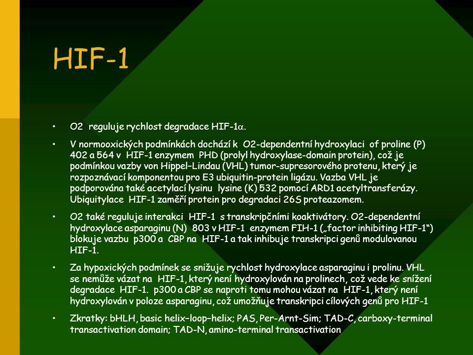 HIF-1 O2 reguluje rychlost degradace HIF-1 . V normooxických podmínkách dochází k O2-dependentní hydroxylaci of proline (P) 402 a 564 v HIF-1 enzymem