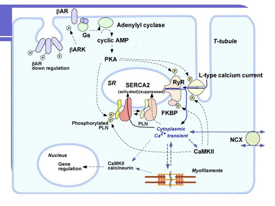 Ionty během adaptace U srdečního selhání dochází k up regulaci Na/Ca výměníku, což se považuje za mechanismus kompenzace nižšího vychytávání vápníku v cytoplasmě v důsledku horší funkce pumpy SERCA2.