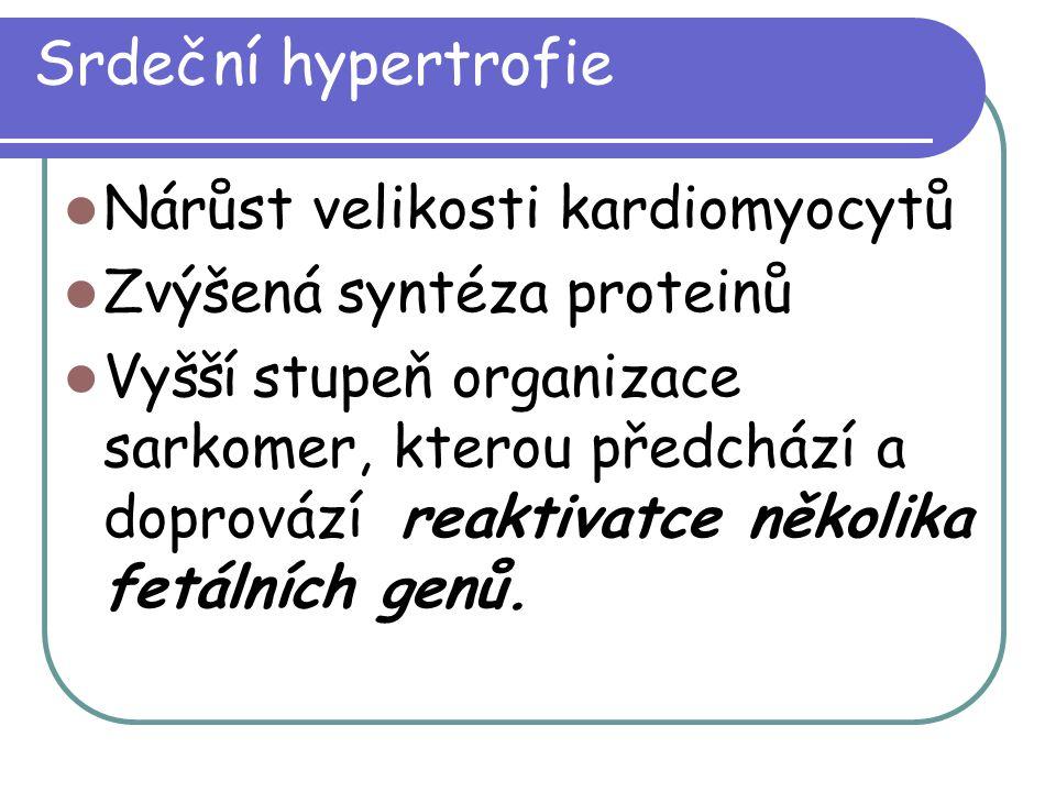 Srdeční hypertrofie Nárůst velikosti kardiomyocytů Zvýšená syntéza proteinů Vyšší stupeň organizace sarkomer, kterou předchází a doprovází reaktivatce