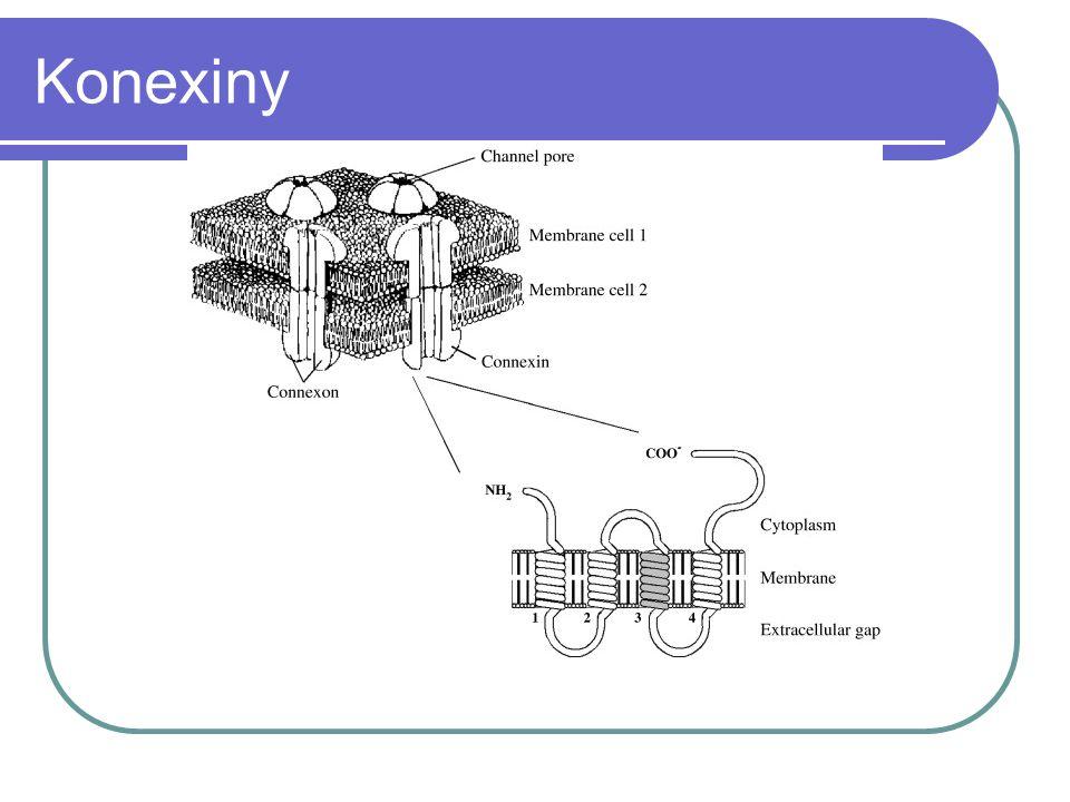 Konexiny