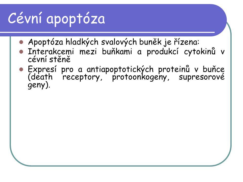 Cévní apoptóza Apoptóza hladkých svalových buněk je řízena: Interakcemi mezi buňkami a produkcí cytokinů v cévní stěně Expresí pro a antiapoptotických