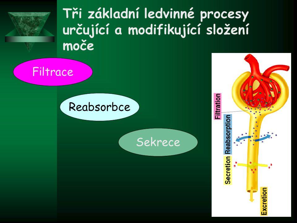 Proximální stočený kanálek Ascendentní tenká část Henleyovy kličky Ascendentní tlustá část Henleyovy kličky Sběrací kanálek Distální stočený kanálek Je základní funkční jednotka ledvin  Každá část je tvořena buňkami zastávajícími specifické transportní funkce Nefron