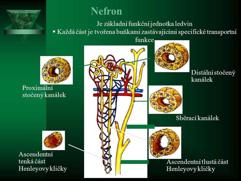 Proreninová interakce s renin/proreninovým receptorem receptor (RPR, Nguyen 2007 )