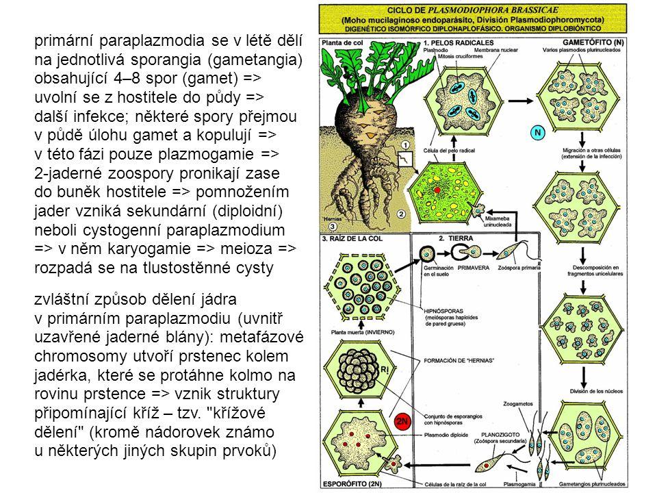 primární paraplazmodia se v létě dělí na jednotlivá sporangia (gametangia) obsahující 4–8 spor (gamet) => uvolní se z hostitele do půdy => další infekce; některé spory přejmou v půdě úlohu gamet a kopulují => v této fázi pouze plazmogamie => 2-jaderné zoospory pronikají zase do buněk hostitele => pomnožením jader vzniká sekundární (diploidní) neboli cystogenní paraplazmodium => v něm karyogamie => meioza => rozpadá se na tlustostěnné cysty zvláštní způsob dělení jádra v primárním paraplazmodiu (uvnitř uzavřené jaderné blány): metafázové chromosomy utvoří prstenec kolem jadérka, které se protáhne kolmo na rovinu prstence => vznik struktury připomínající kříž – tzv.