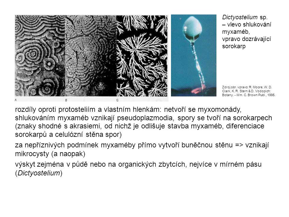 rozdíly oproti protosteliím a vlastním hlenkám: netvoří se myxomonády, shlukováním myxaméb vznikají pseudoplazmodia, spory se tvoří na sorokarpech (znaky shodné s akrasiemi, od nichž je odlišuje stavba myxaméb, diferenciace sorokarpů a celulózní stěna spor) za nepříznivých podmínek myxaméby přímo vytvoří buněčnou stěnu => vznikají mikrocysty (a naopak) výskyt zejména v půdě nebo na organických zbytcích, nejvíce v mírném pásu (Dictyostelium) Dictyostelium sp.