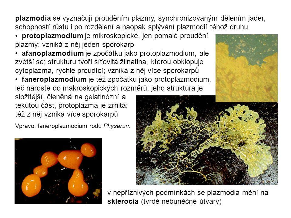 plazmodia se vyznačují prouděním plazmy, synchronizovaným dělením jader, schopností růstu i po rozdělení a naopak splývání plazmodií téhož druhu protoplazmodium je mikroskopické, jen pomalé proudění plazmy; vzniká z něj jeden sporokarp afanoplazmodium je zpočátku jako protoplazmodium, ale zvětší se; strukturu tvoří síťovitá žilnatina, kterou obklopuje cytoplazma, rychle proudící; vzniká z něj více sporokarpů faneroplazmodium je též zpočátku jako protoplazmodium, leč naroste do makroskopických rozměrů; jeho struktura je složitější, členěná na gelatinózní a tekutou část, protoplazma je zrnitá; též z něj vzniká více sporokarpů Vpravo: faneroplazmodium rodu Physarum v nepříznivých podmínkách se plazmodia mění na sklerocia (tvrdé nebuněčné útvary)
