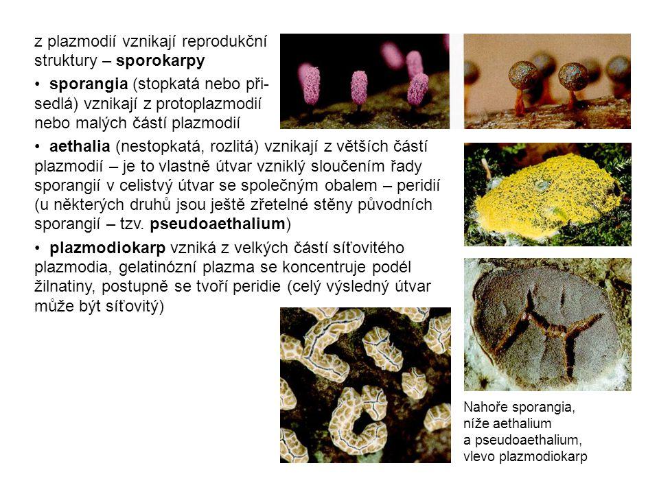 z plazmodií vznikají reprodukční struktury – sporokarpy sporangia (stopkatá nebo při- sedlá) vznikají z protoplazmodií nebo malých částí plazmodií aethalia (nestopkatá, rozlitá) vznikají z větších částí plazmodií – je to vlastně útvar vzniklý sloučením řady sporangií v celistvý útvar se společným obalem – peridií (u některých druhů jsou ještě zřetelné stěny původních sporangií – tzv.