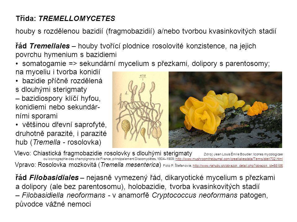 Třída: DACRYMYCETES řád Dacrymycetales tvoří obvykle žluté nebo oranžové, rosolovité až tuhé, dřevní saprofyté – Dacrymyces (kropilka, bochánkovité plodnice), Calocera (krásnorůžek, keříčkovité plodnice) Krásnorůžek lepkavý (Calocera viscosa) Foto Ladislav Racko, http://www.nahuby.sk/atlas-hub/Calocera-viscosa/Parozkovec-lepkavy/Krasnoruzek-lepkavy/ID325 Kropilka (Dacrymyces sp.) Foto Tomáš Papoušek chrupavčité plodnice na sek.