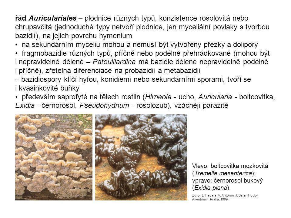 řád Cantharellales – gymnokarpní holo- nebo pilothecia s různým typem hymenoforu (hladký, lamelovitý, ostnitý aj.) buď mykorhizní houby nebo dřevní saprofyté až fakultativní parazité plodnice keříčkovité - Clavulina (kuřátečko) nebo kloboukaté s lamelami - Cantharellus (liška) či ostny - Hydnum (lišák) Nahoře: liška obecná (Cantharellus cibarius) Foto Ladislav Pomšár, http://www.nahuby.sk/atlas-hub/Cantharellus-cibarius/Kuriatko-jedle/Liska-obecna/ID231http://www.nahuby.sk/atlas-hub/Cantharellus-cibarius/Kuriatko-jedle/Liska-obecna/ID231 Dole: kuřátečko popelavé (Clavulina cinerea) Foto Jiří Polčák, http://www.nahuby.sk/atlas-hub/Clavulina-cinerea/Konarovka-popolava/Kuratecko-popelave/ID194http://www.nahuby.sk/atlas-hub/Clavulina-cinerea/Konarovka-popolava/Kuratecko-popelave/ID194 Vlevo: lišák zprohýbaný (Hydnum repandum) Foto Ján Šuvada, http://www.nahuby.sk/atlas-hubhttp://www.nahuby.sk/atlas-hub /Hydnum-repandum/Jelenka-poprehybana /Losak-zprohybany/ID169