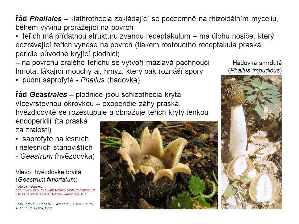 řád Gomphales – rouškaté houby s kyjovitými (Clavariadelphus - kyj) nebo keříčkovitými (Ramaria - kuřátka) holothecii – na základě molekulárních analýz řazeny do příbuznosti Phallales a Geastrales Kuřátka květáková (Ramaria botrytis) Foto Viliam Ridzoň, http://www.nahuby.sk/atlas-hub/Ramaria-botrytis/Strapacka-koralovita/Kuratka-kvetakova/ID635 Kyj Herkulův (Clavariadelphus pistillaris) L.