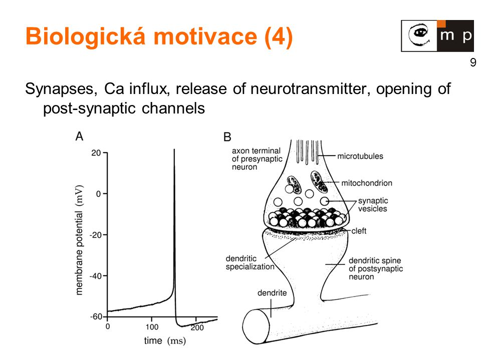 9 Biologická motivace (4) Synapses, Ca influx, release of neurotransmitter, opening of post-synaptic channels
