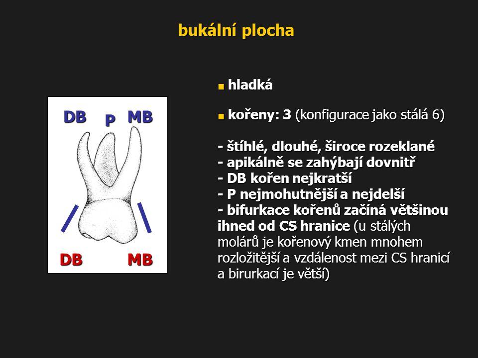 bukální plocha ■ hladká ■ kořeny: 3 (konfigurace jako stálá 6) - štíhlé, dlouhé, široce rozeklané - apikálně se zahýbají dovnitř - DB kořen nejkratší