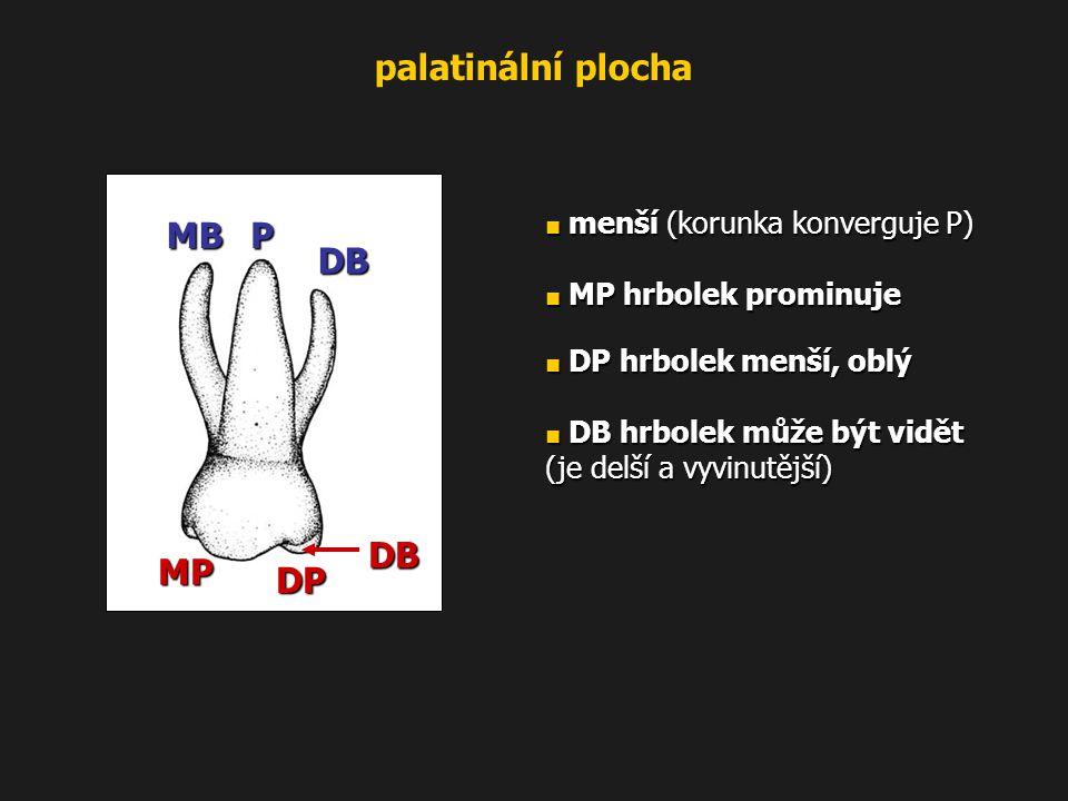 DB PMB MP DP DB palatinální plocha ■ menší (korunka konverguje P) ■ MP hrbolek prominuje ■ DP hrbolek menší, oblý ■ DB hrbolek může být vidět (je delš